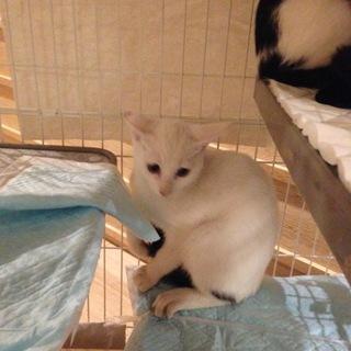 黒いしっぽのキュートな白子猫
