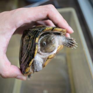 カブトニオイガメ雌 成体 およそ9歳