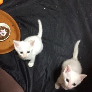 白猫姉妹の里親様募集