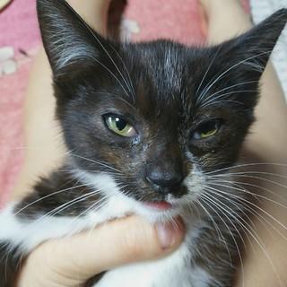 甘えんぼな黒白三毛猫