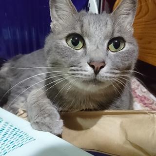成猫ロイの里親募集2歳