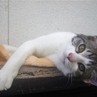 (ΦωΦ)<動画有り♪ 野良の子猫 サバシロ 鯖白