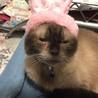ネグレストから解放されたシャム系猫、チャーコくん サムネイル2