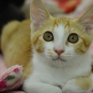 茶白猫【秋月】