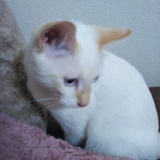 白レッドポイント子猫の男の子(決まりました)