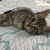 2ヶ月の可愛い盛りの子猫ちゃん♪オス