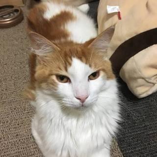 ダニエル☆大きな体で温和で人・猫みしりなし