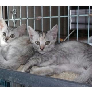子猫アメショーミックス姉妹二匹