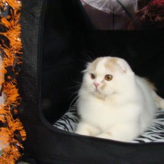 スコティッシュフォールド 成猫