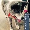 おっとり小柄な秋田犬の茜ちゃん サムネイル2