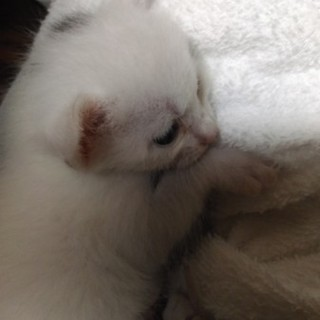 生後2週間の子猫4兄弟 白系
