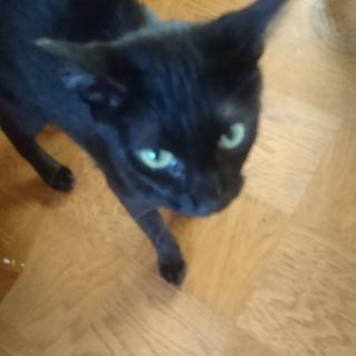 「急募」クロの♂とキジの♀猫