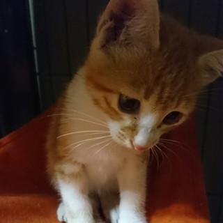 茶トラ×白  イケメン子猫ダンボくん