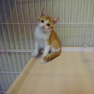 茶白の子猫 生後1か月半~2か月