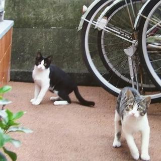 黒白はちわれ・しろサバの子猫きょうだい