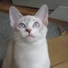 シャム系子猫「ティーダ」メス3か月