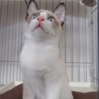 たぬき系子猫「ティアナ」6か月メス