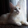 1歳くらいのメス猫(茶白)の里親募集中