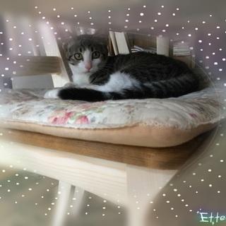 グレー系キジ白の美猫な女の子♪
