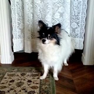 かわいいパピヨンとチワワのミックス犬