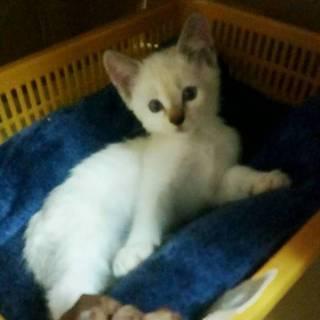 生後1ヶ月半 子猫 女の子 シャム系の柄