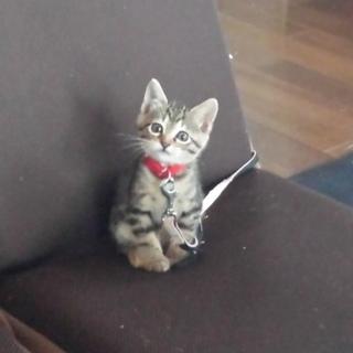 アメショーミックス 子猫ちゃん