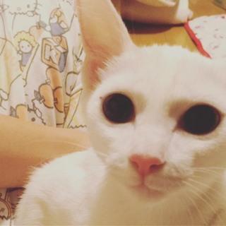 真っ白な子猫♥こむぎちゃん♀
