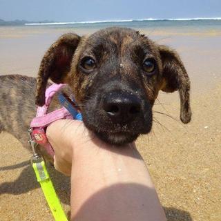琉球犬MIX 4カ月オス ピースくん