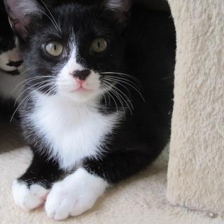 黒白ハチワレ子猫「フーガ」オス