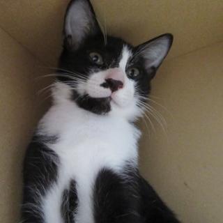 黒白ハチワレ子猫「ジューク」オス