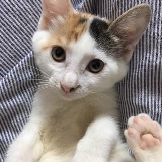 1ケ月半 可愛い三毛猫 みりんちゃん