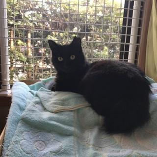 半長毛の黒猫モジャちゃん 幸運のカギしっぽ
