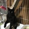 半長毛の黒猫モジャちゃん 幸運のカギしっぽ サムネイル4