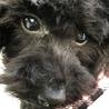 全盲の黒トイプードルの仔犬 モモちゃん 生後五ヶ月