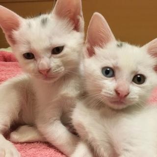 白い子猫兄妹☆ノルとベル【10/8千葉譲渡会参加】