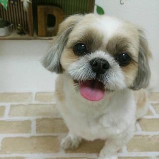寂しがり屋のシーズー犬です。