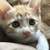 茶白子猫(推定生後2ヶ月)