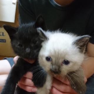 白猫ちゃん里親様決定!黒キジ子猫ちゃん