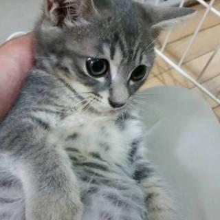 小岩★大人猫大好き★3ヶ月グレー女の子★