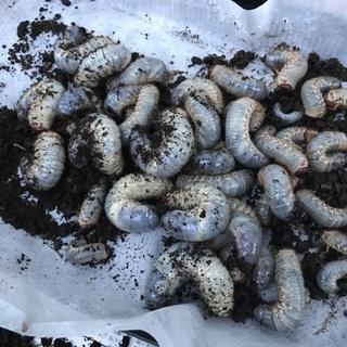 日本カブトムシの幼虫!応募は女性限定m(_ _)m