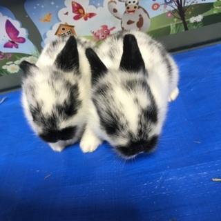 白黒子ウサギ!!