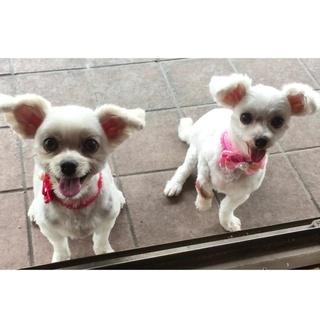 マルチーズミックス 姉妹 2匹 里親募集中