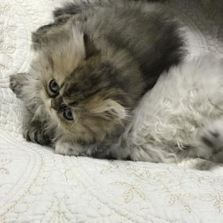 チンチラ猫さんの家族になって下さる方探しています