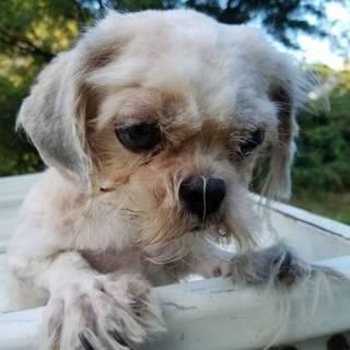 【繁殖所引退犬】可愛いシーズーの女の子♀