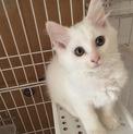 真っ白マッシュ★2ヶ月★白猫女子