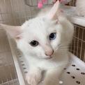 綺麗なオッドアイのマロちゃん★2ヶ月★白猫女子