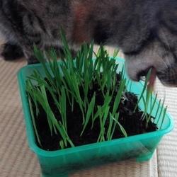 猫草大好き!!