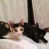 元気で人懐こい黒・黒白・三毛4きょうだい~黒猫ケン