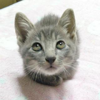 ロシアンブルーサバトラMIX生後4か月の仔猫オス♂