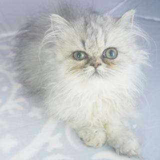 ペルシャ猫 シェルトーティ♀ラテちゃん